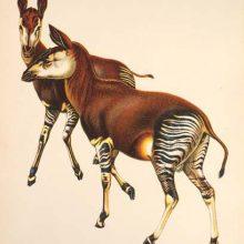 Herbert Lang et L'okapi